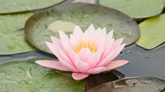 Pink lotus Stock Footage