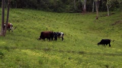Cows in a field Stock Footage