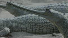 Gharial Stock Footage