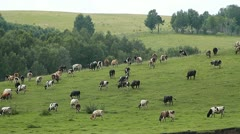 Cows 005 Stock Footage