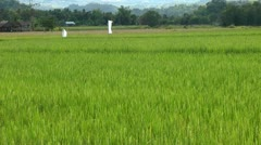 Rice paddy with ripening rice on Panay island in Philippines Stock Footage
