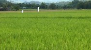 Stock Video Footage of Field with maturing rice on Panay island in Philippines