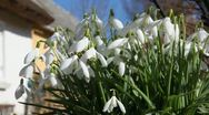 Snowdrops - the first sign of spring Stock Footage