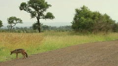 Jackal Lying on National Park Road then Walks off GFHD Stock Footage