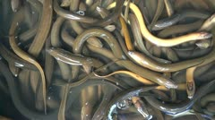 Eel Stock Footage