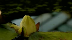 Water lily flower Stock Footage
