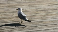 Seagull prances and squawks Stock Footage