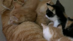 Kittens and mother Stock Footage