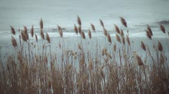 Spring landscape, reed in the wind Stock Footage