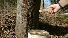 Hammer in maple tap for spring sap Stock Footage