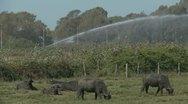 Water Buffalo grazing (one) Stock Footage