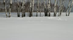 Birch trunks Stock Footage
