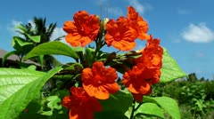 Jatropha red flower Stock Footage