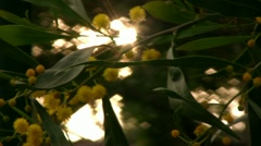 Yellow Flowers on Tree 01 Focus In Out HD - stock footage