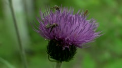 Gnat on the flower burdock Stock Footage