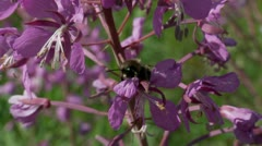 Meadow flower ( Epilobium ) & bumblebee Stock Footage