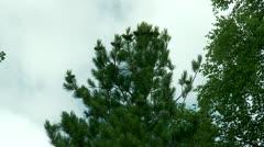 Cedar & cones - stock footage