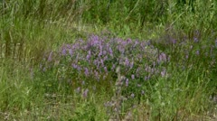Meadow with feather grass and blue flowers Stock Footage