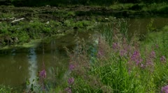 Meadow flower ( Epilobium ) at the river Stock Footage