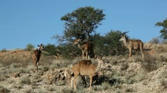 Kudu antelopes Stock Footage