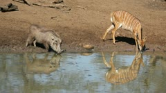 Warthog and nyala antelope drinking Stock Footage