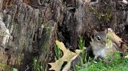 "Stock Video Footage of Amid Nature - A Wary Eastern Chipmunk Plays ""Can You See Me Now?"""