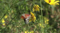 Gulf Fritillary Butterfly on yellow wild flowers then leaves frame Stock Footage