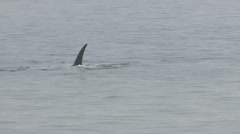 Endangered right whale off coast of Cape Cod; 4 Stock Footage