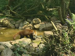 Kleine panda - rode panda - red panda - ailurus fulgens - firefox 03 Stock Footage