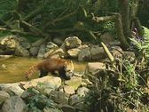 Stock Video Footage of kleine panda - rode panda - red panda - ailurus fulgens - firefox 03