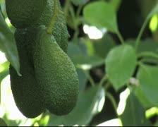 Avocado fruit. Stock Footage