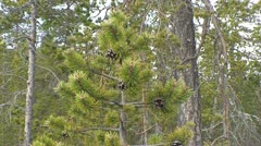 Pine trees  in Finnish Lapland 1 - stock footage