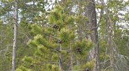 Stock Video Footage of Pine trees  in Finnish Lapland 1