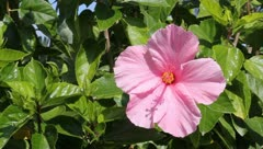Pink Hibiscus - stock footage