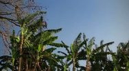 Banana Trees waving in Wind on Blue Sky Stock Footage