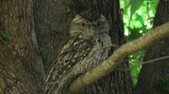An Australian Tawny Frogmouth sitting on a low branch Stock Footage