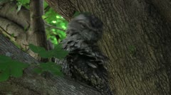 An Australian Tawny Frogmouth sitting on a branch Stock Footage