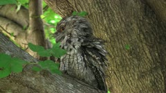 An Australian Tawny Frogmouth - stock footage