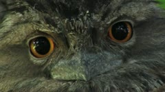 Close up of Tawny Frogmouth eyes. - stock footage