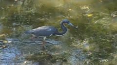 Tricolored heron hunting in the Everglades Stock Footage