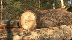 Cutting pine trees with chainsaw 4 Stock Footage