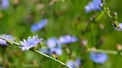 Blue flowers Stock Footage