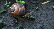Stock Video Footage of Big vine snail
