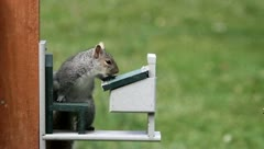 Gray Squirrel at a feeder Stock Footage