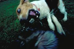 dog attacking - stock photo