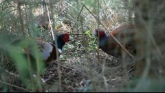 Two Wild Pheasants Having An Arguement Stock Footage