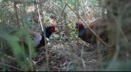 Stock Video Footage of Two Wild Pheasants Having An Arguement