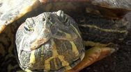 Stock Video Footage of Chelonia mydas - Green turtle