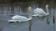 Two Mute Swans in Marsh Stock Footage