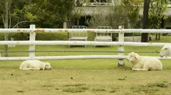 Sheep Resting by a Fence Stock Footage